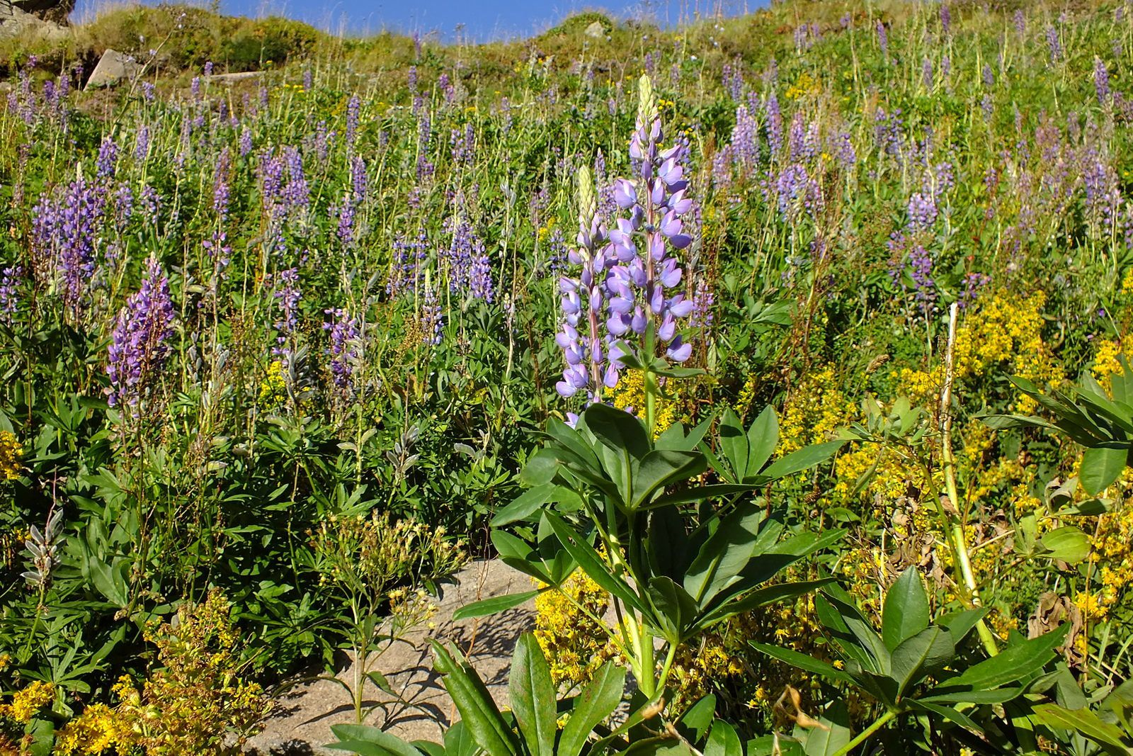 Au Puy Mary, des lupins