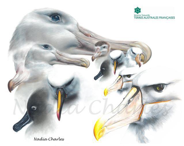 Le bec de l'albatros timide et la maquette où il remplace le pétrel.