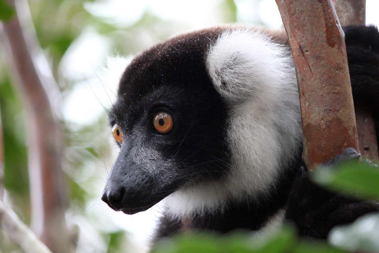Chroniques malgaches (12) : Andasibe, le sanctuaire des lémuriens...