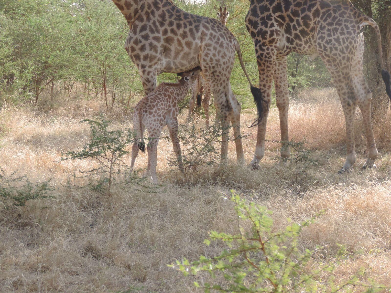 encore une image de girafe, la tétée du girafon