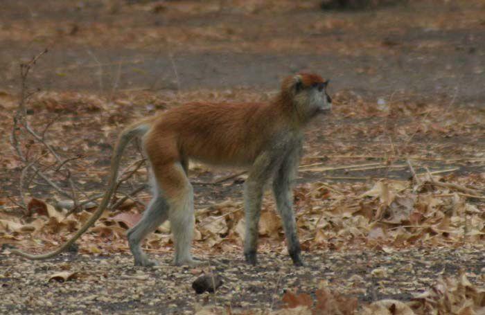 Les singes de Bandia