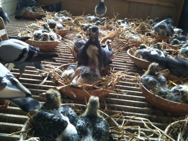 La nursery : Les femelles avec leurs jeunes.