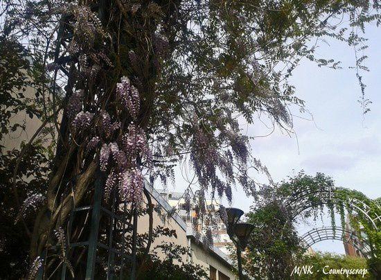 Glycines en fleurs ...