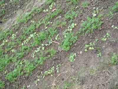 Sous une des serres, une maille à l'endroit, une maille à l'envers, un rang de radis, un rang de carottes, c'est presque de la broderie et la récolte sera pour dans quelques semaines.