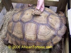 Adulte 80 à 100kg et juvénile (c'est mignon!)