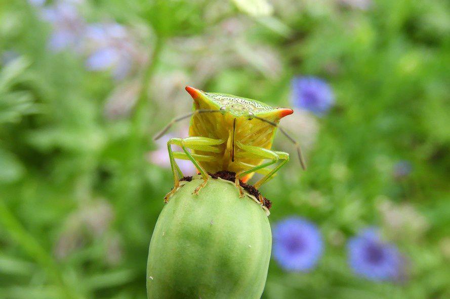 La punaise des bois, une belle ensanglantée - Acanthosoma haemorrhoidale