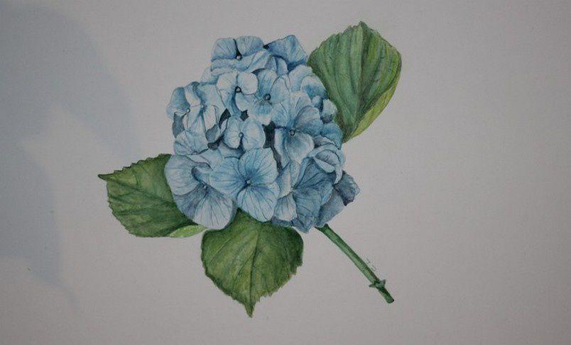 Aquarelle hortensia bleu nature et rencontres - Terre pour hortensia bleu ...