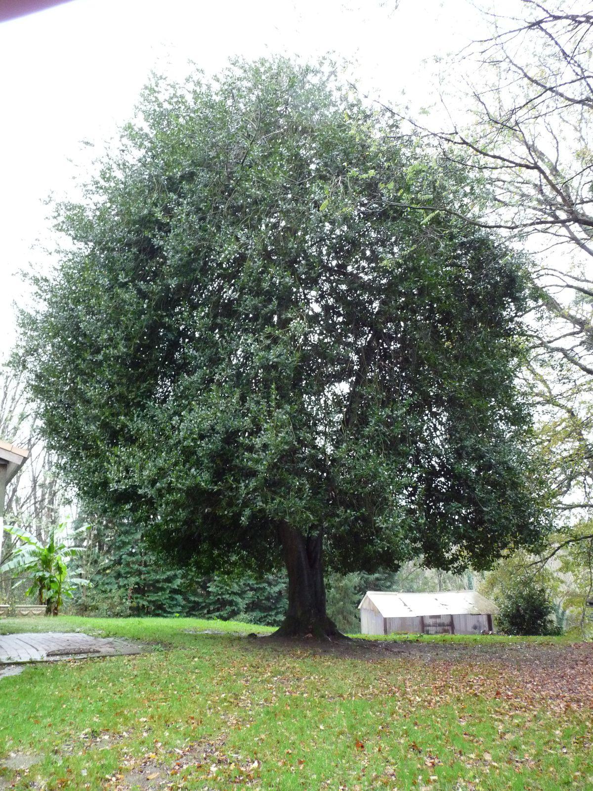 le houx de Saint-Bennois -la -forêt (37)