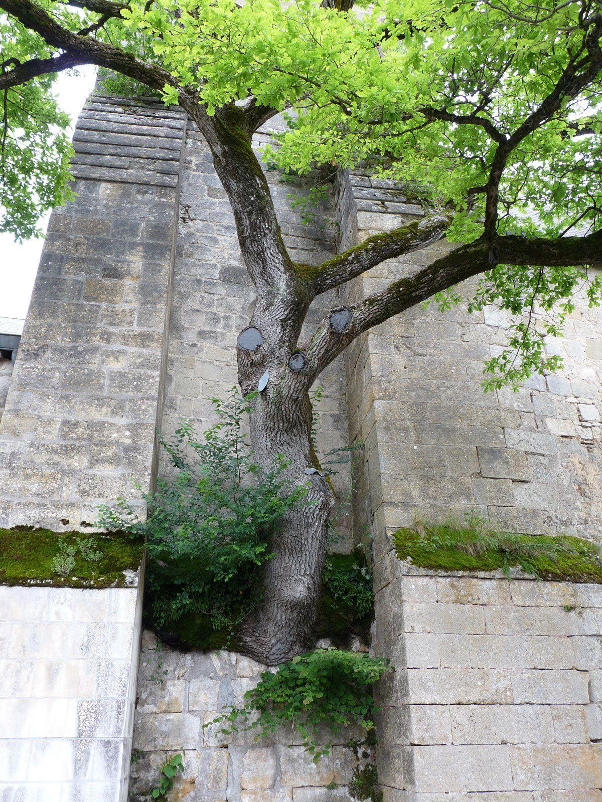 Le chêne de l'église de Cheillé (37)