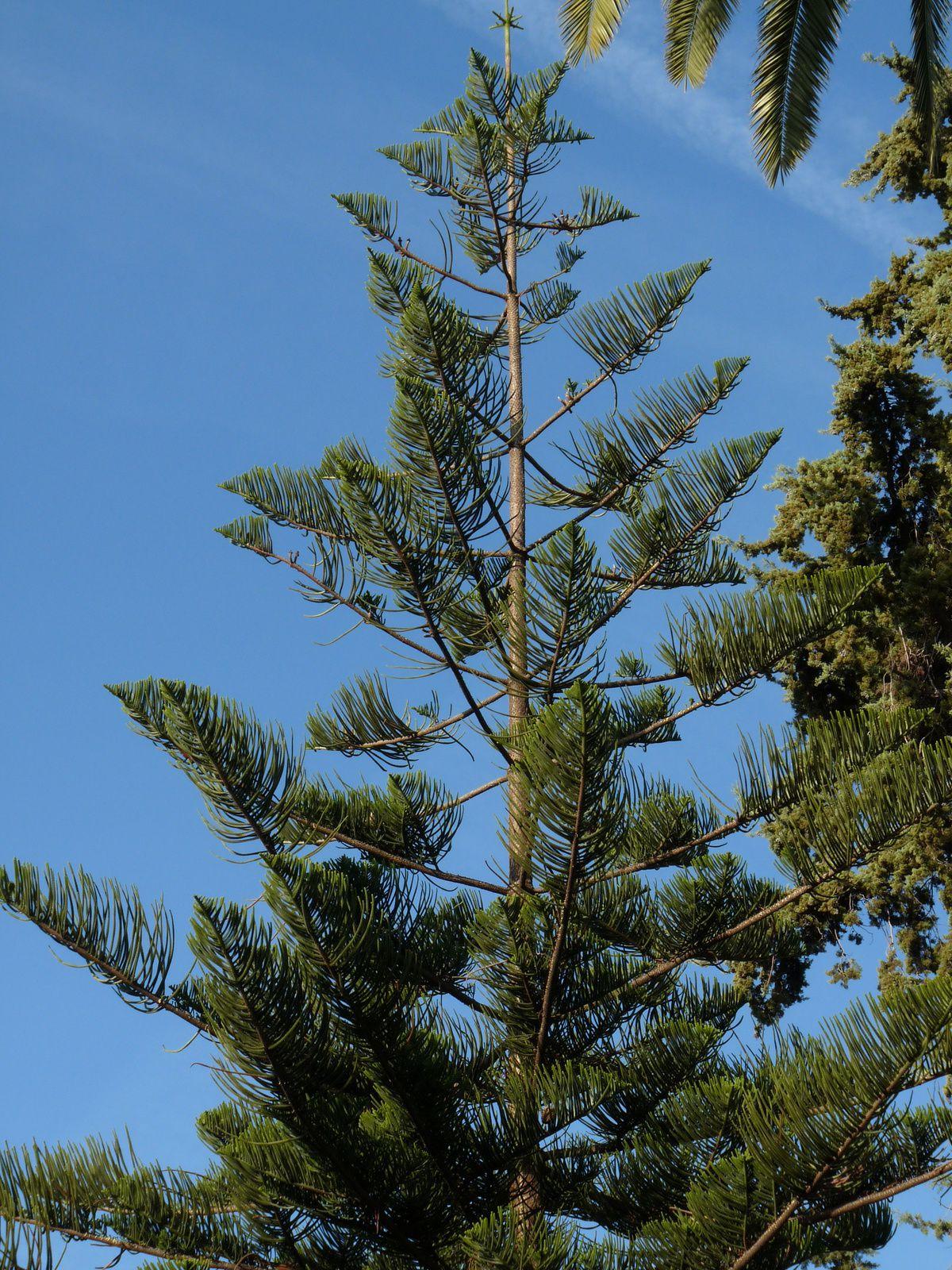 Araucaria cunninghamii , hétérophylla et angustifolia