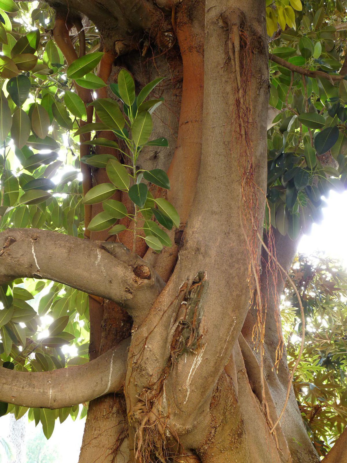 Malheureusement dans ce jardin la signalistion laisse à désirer et je ne sais pas quel Ficus est-ce.