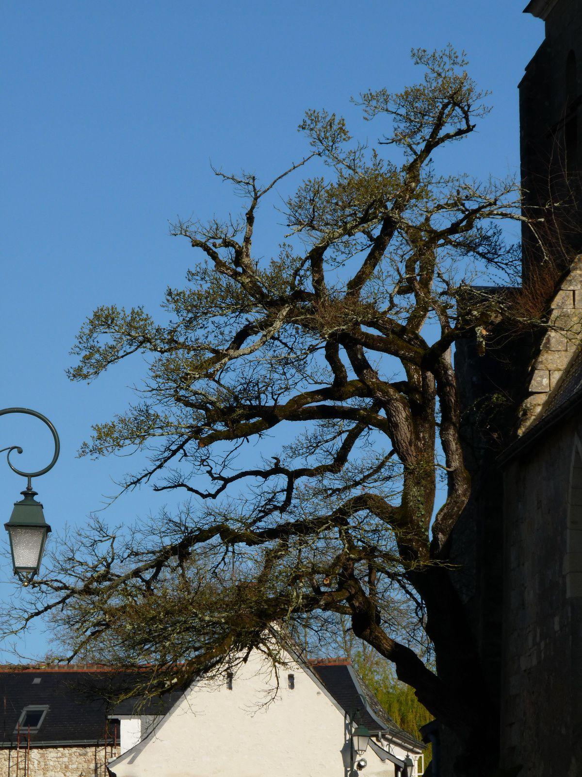 Le chêne de l'église de Cheillé .(37)