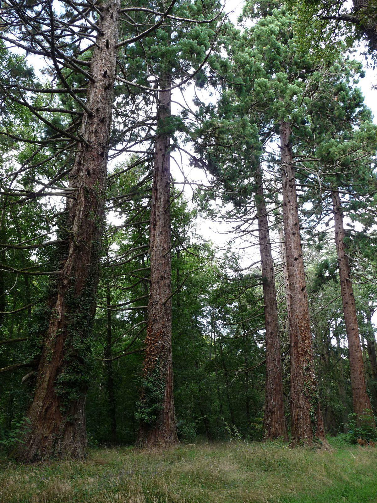 Elagage du bois mort sur cinq des six Séquoias,le dernier ayant un nid de frelons.