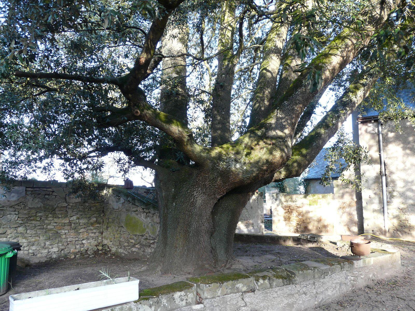 Probablement une ancienne truisse ce chêne vert semble une main tendue vers le ciel.