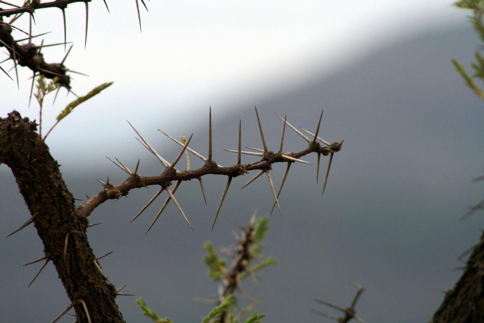 Une branche d'acacia. Des épines effrayantes pour vous petit être humain sensible et douillet que vous êtes, mais qui ne font ni chaud ni froid aux gros pachydermes, qui les avalent sans se poser de question et qui les chient sans plus d'émotions... Je vous laisse imaginer si vous avalez un truc comme ça :) Par contre, il est vivement déconseillé de rouler dans les bouses d'éléphants au milieu de la route, ces épines sont tellement grosses qu'elles peuvent crever un pneu !