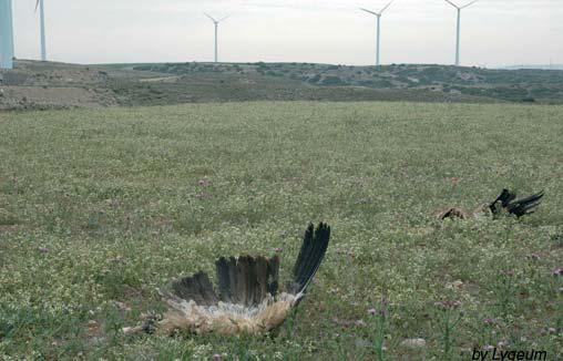 oiseaux tués par les éoliennes : vautours fauves, outarde barbue et martinet