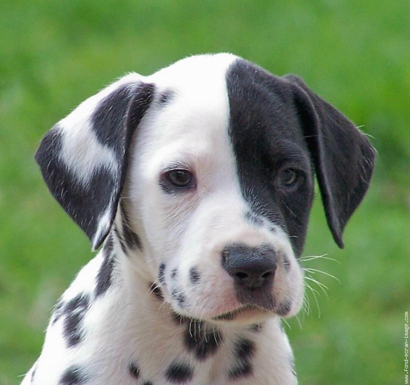Classement Des 10 Plus Belles Races De Chiens Animal Blog42