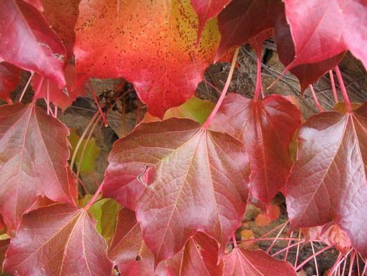 Profitons des belles feuilles, en fin de semaine, elles se ramasseront à la ...pelle.