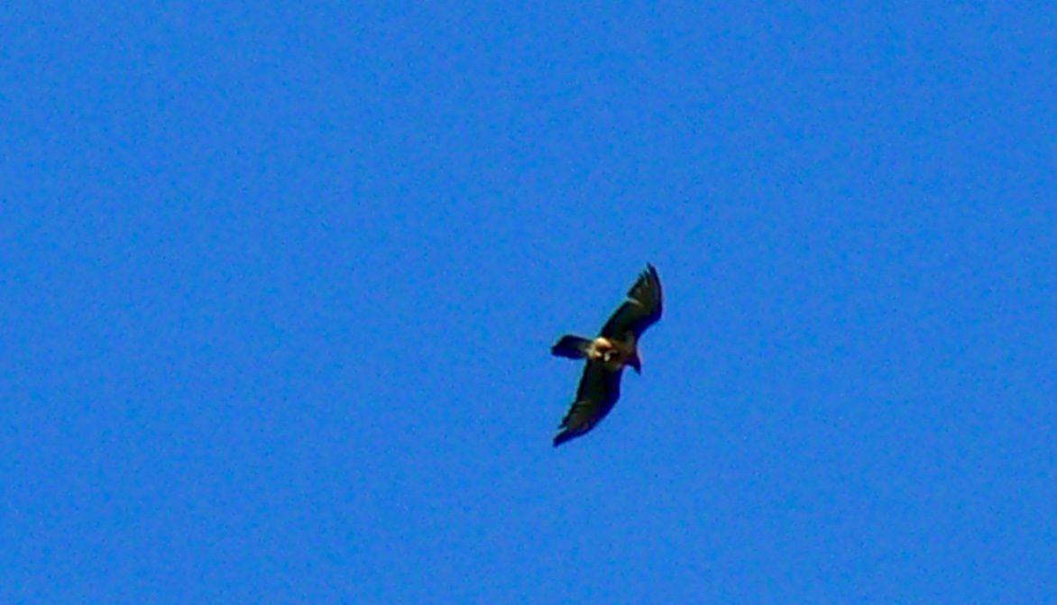 Les photos sont pas de bonne qualité, mon zoom est limité .... Gypaète en vol à Peisey Nancroix le 21 mai.