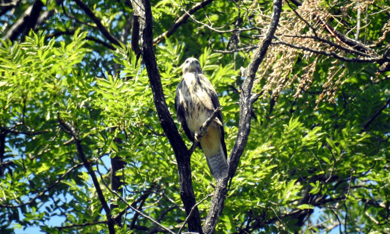 Le juvenile a un plumage plus clai avec des taches marrons sur la poitrine. Sa queue est également plus longue que celle des adultes.r