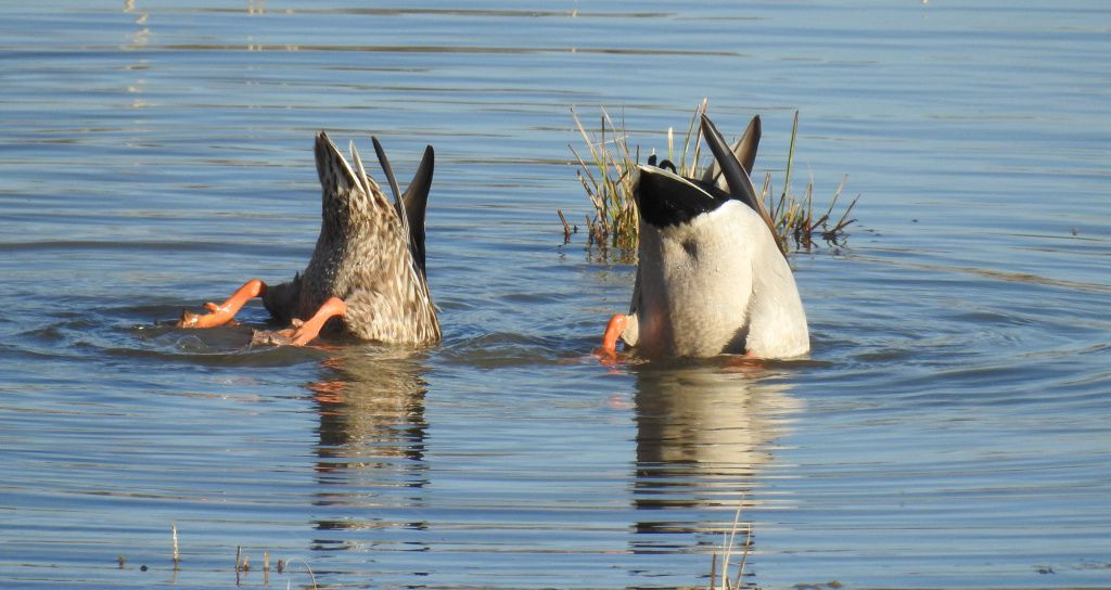 Couple de canards colverts