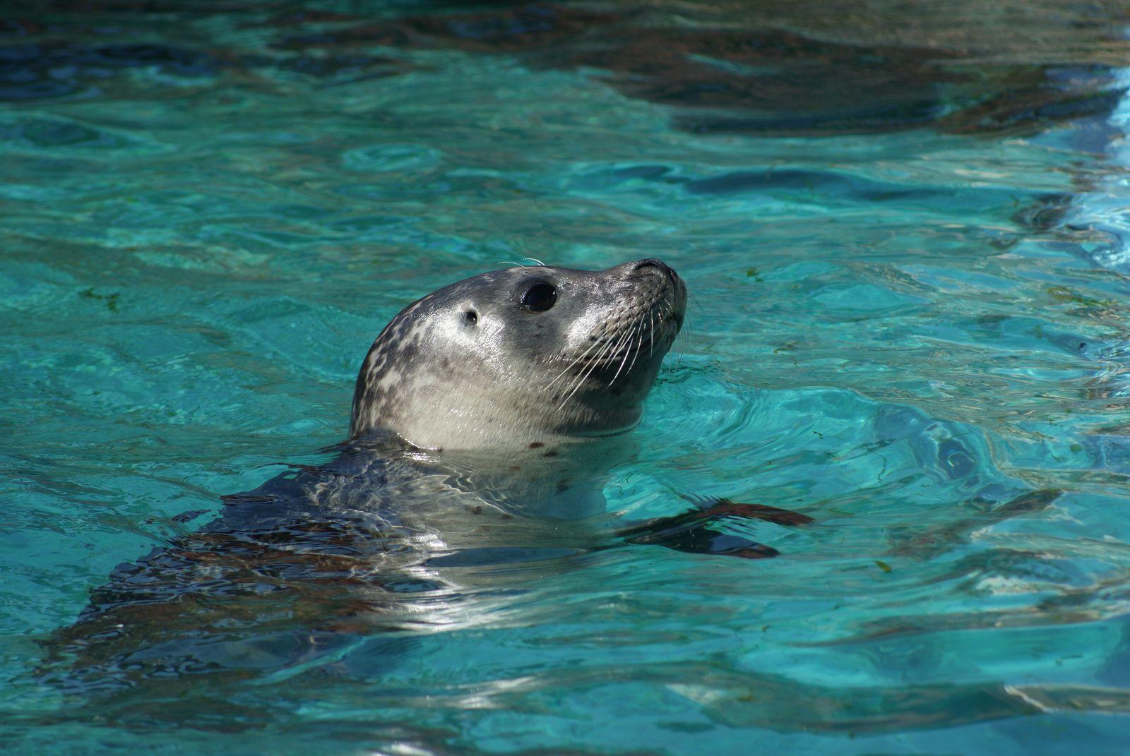 des phoques veaux-marins