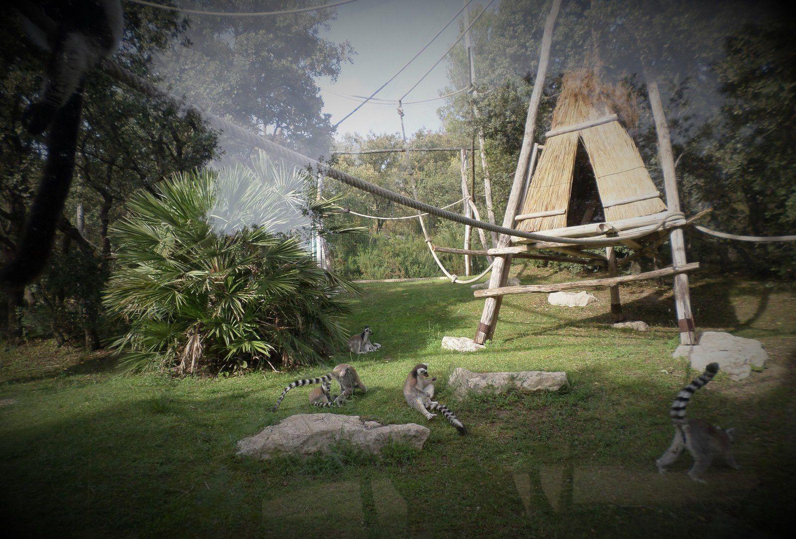 pandas toux et lémuriens