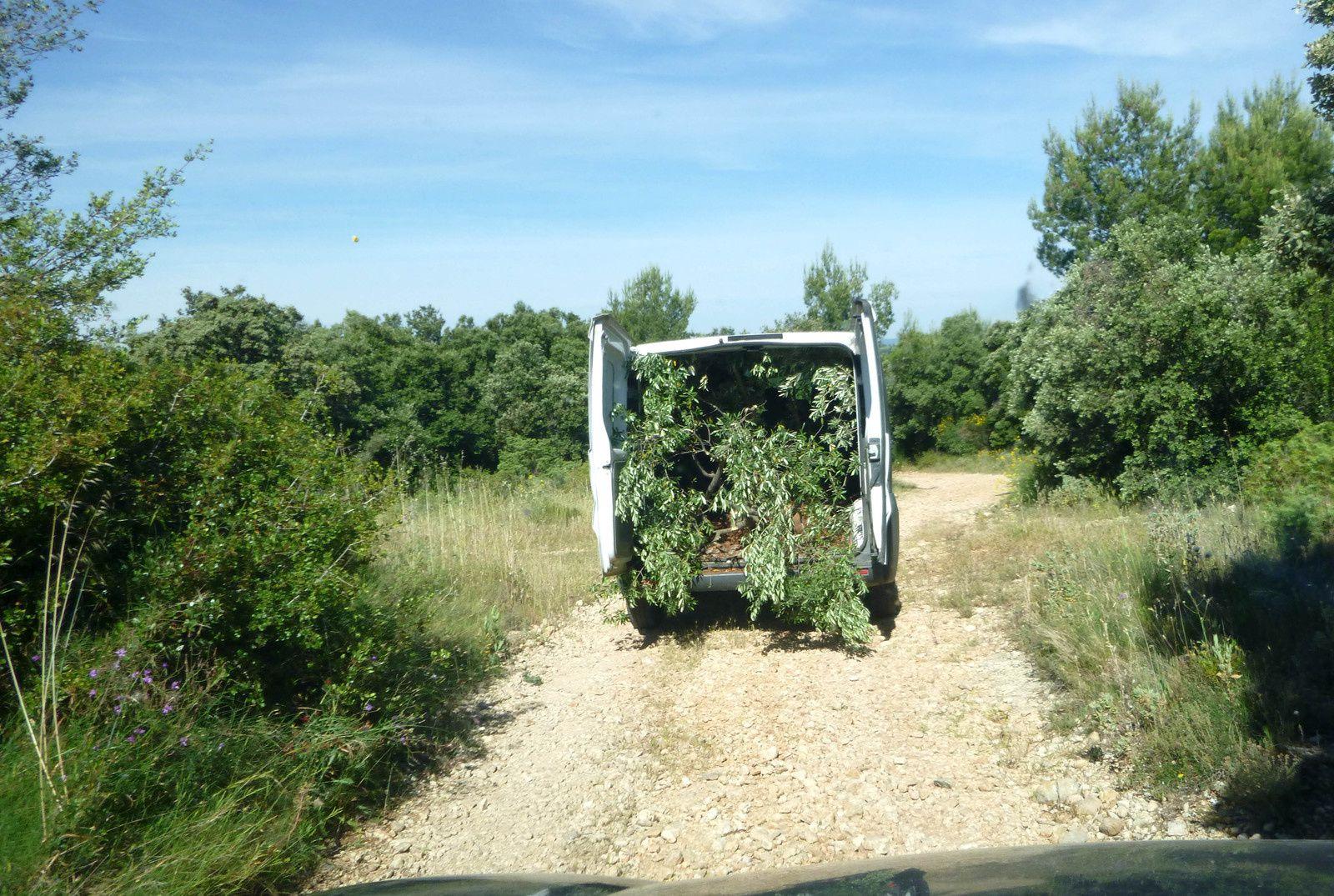Nos premiers oliviers...
