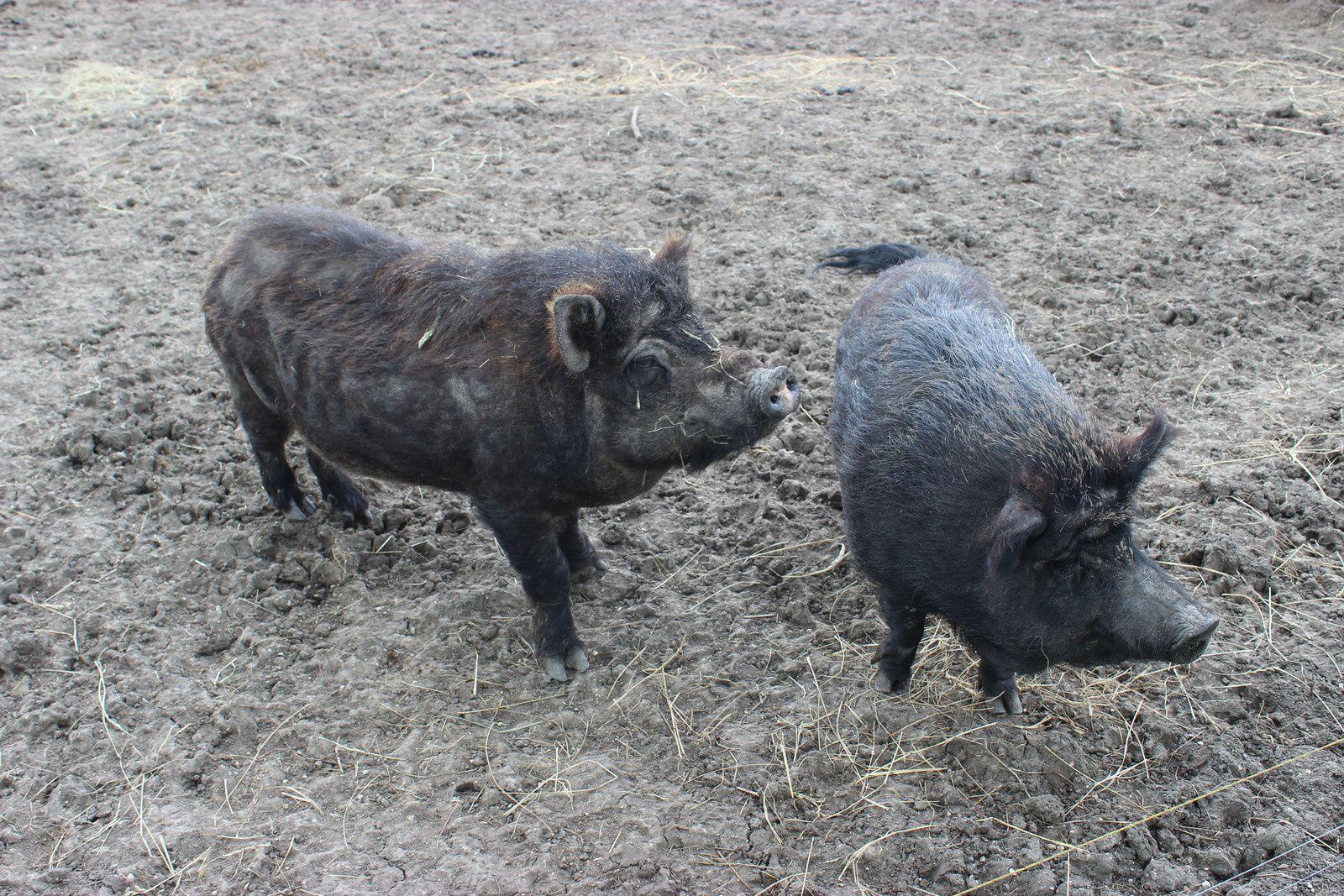 les yaks et les cochons