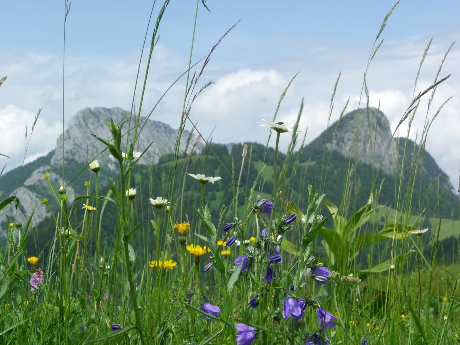 Fleurs des alpages de Bellecombe en Bauges