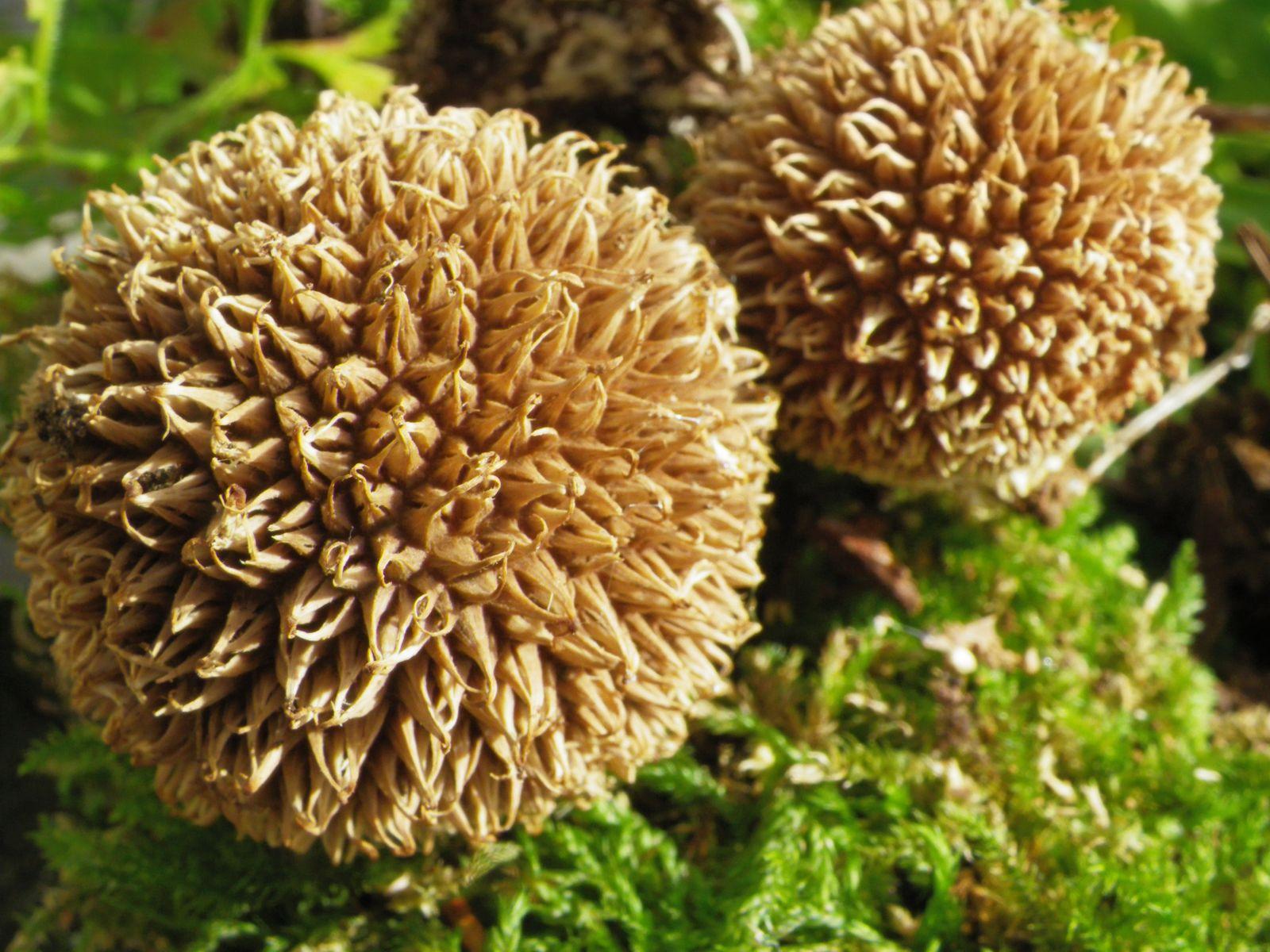 Lycoperdon echinatum, Vesse-de-loup hérisson