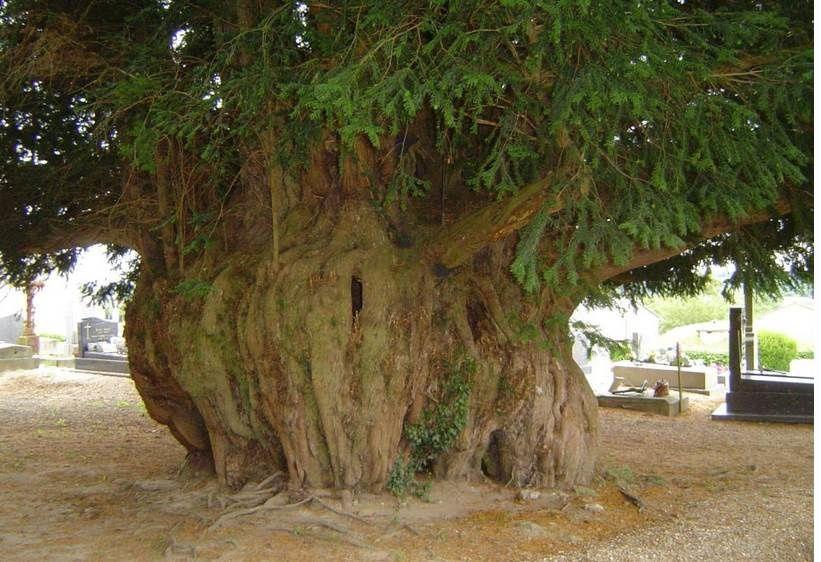 L'if d'Estry dans le Calvados présente un tronc de 11,5 m. de circonférence, il est haut de 15 m.Son âge est estimé à 1600 ans, il est creux et 15 personnes peuvent s'y tenir!