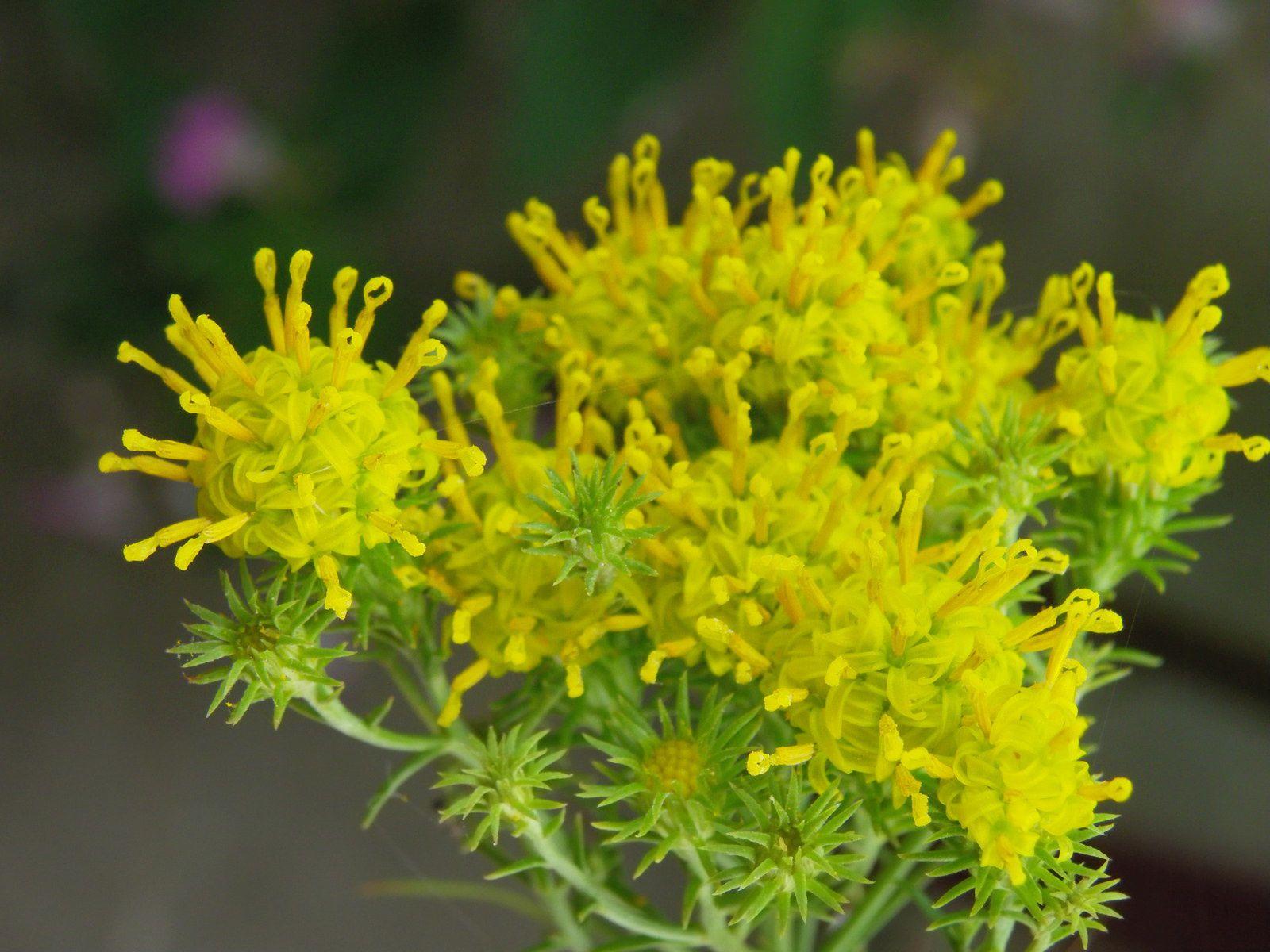 Les fleurs épanouies s'ouvrent en étoiles à 5 branches