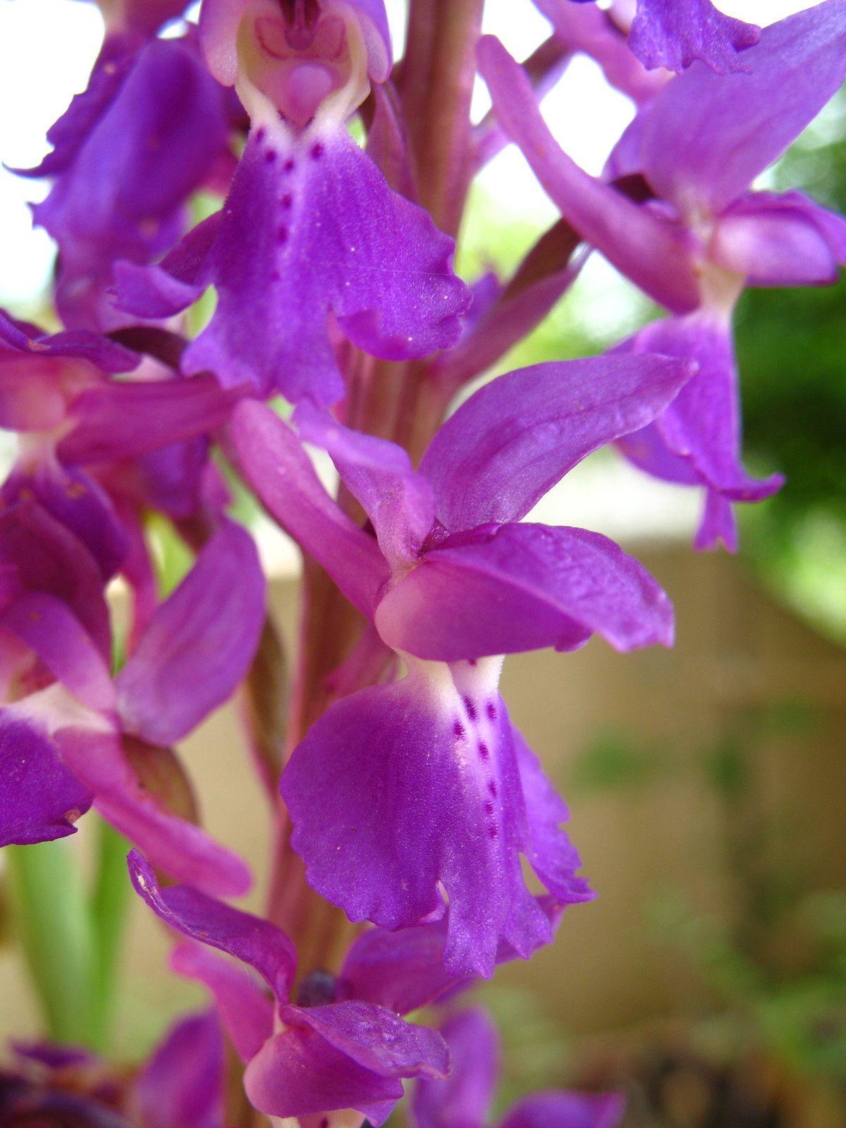 Orchidées du bas Bugey (suite) Orchis mascula ou Orchis mâle