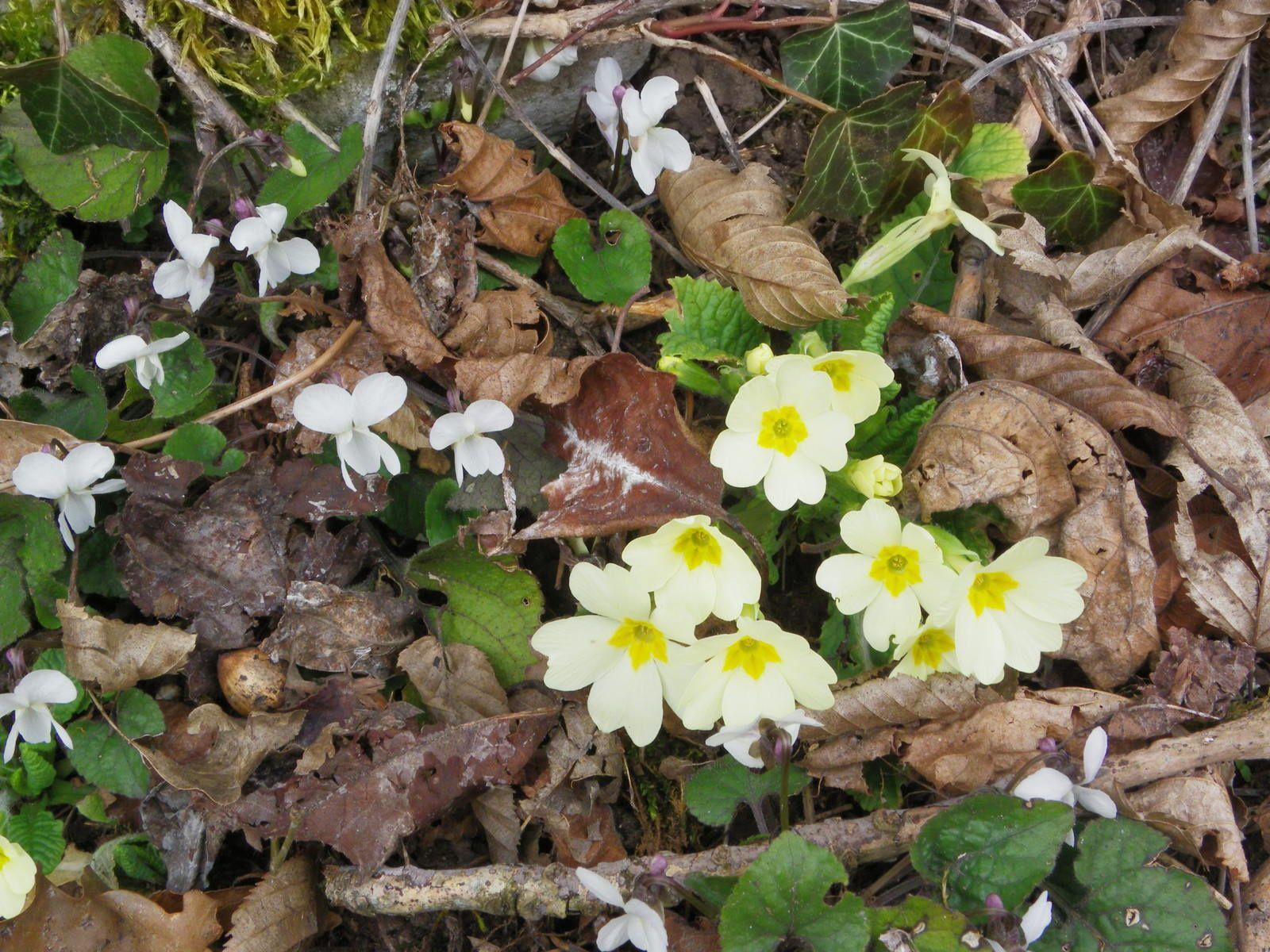Primula acaulis en compagnie de Viola alba, Violette blanche
