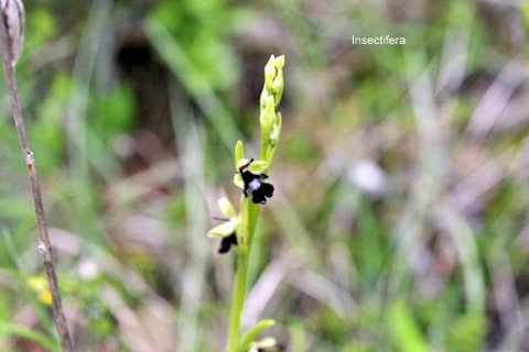Ophrys insectifera, Ophrys mouche