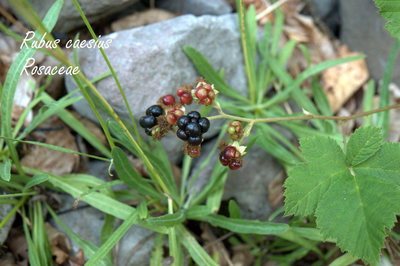 Herborisation d'automne dans les Bauges ...