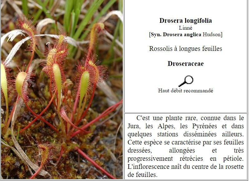 http://canope.ac-besancon.fr/flore/Droseraceae/ESPECES/drosera_anglica.htm