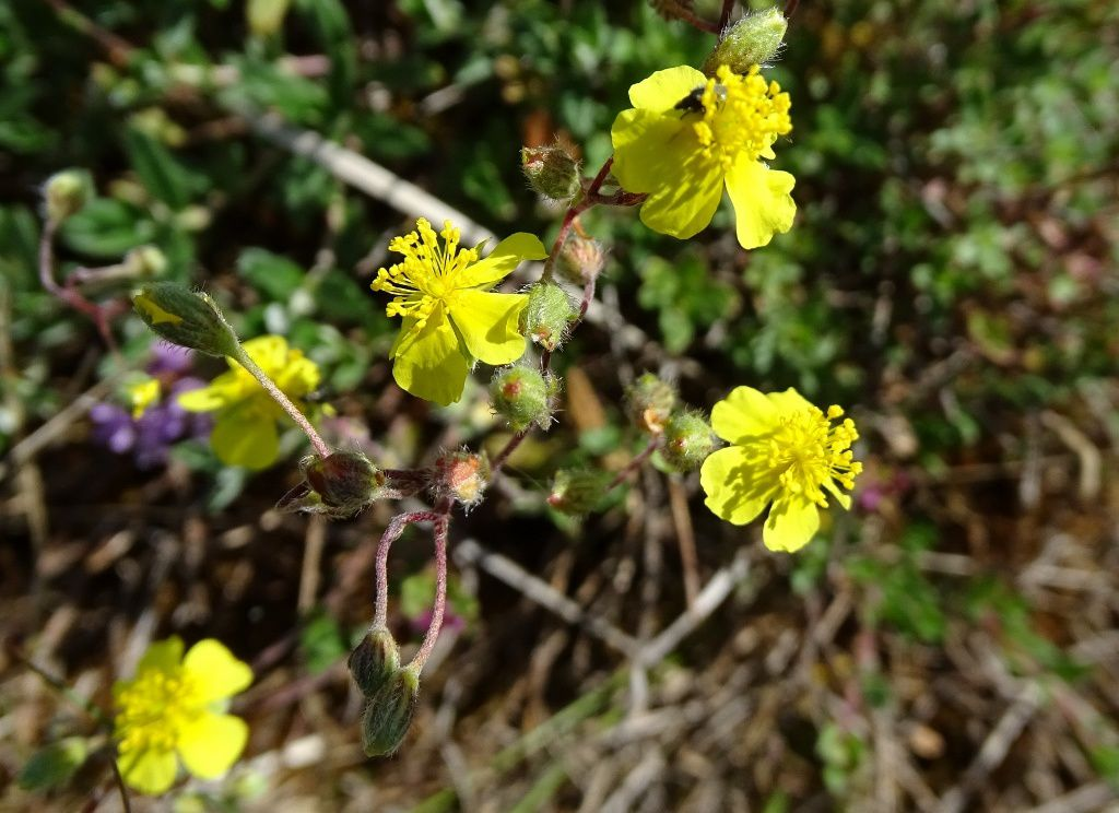 10 juin 2017: herborisation en basse vallée de l'Ain