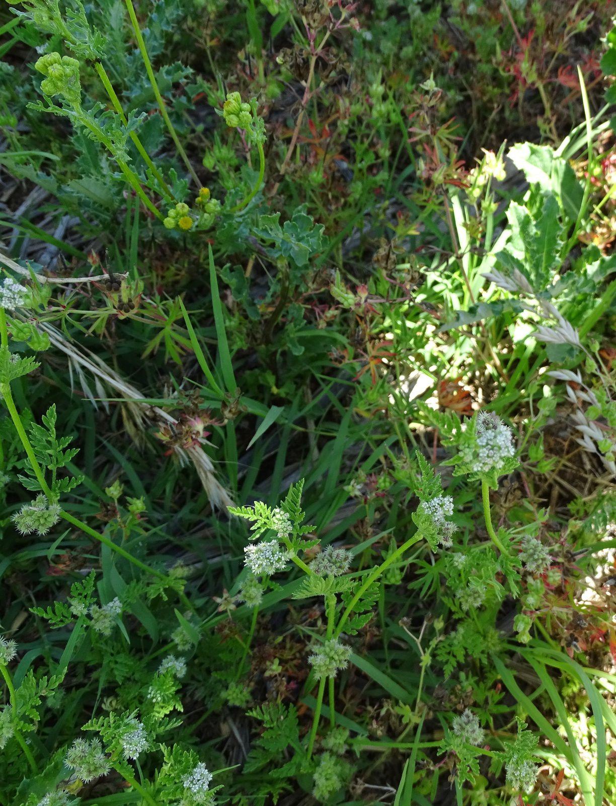 herborisation en basse vallée de l'Ain (suite)