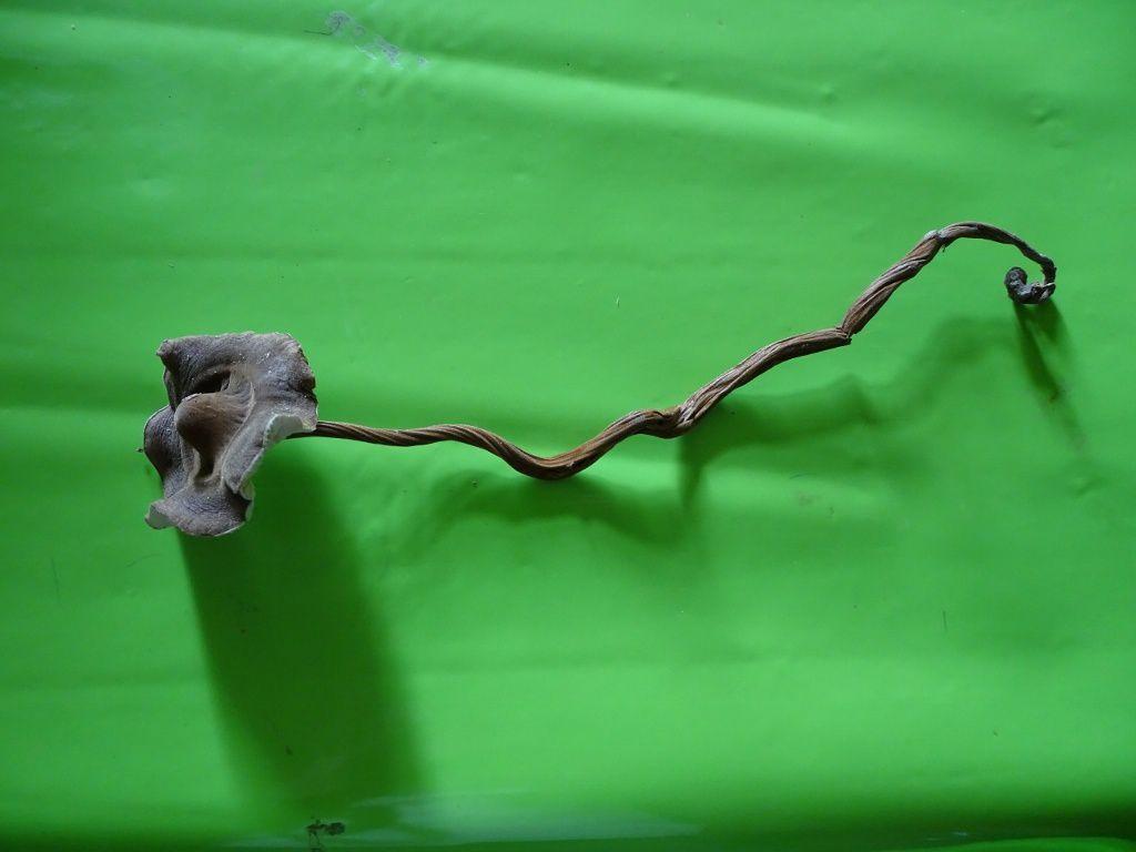 la spectaculaire Oudemansiella radicata, Collybie radicante,  apportée par un participant