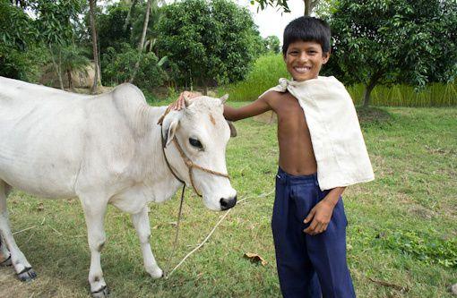 Vaches au Bangladesh