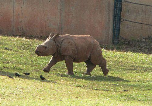 bebe-rhinoceros.jpg