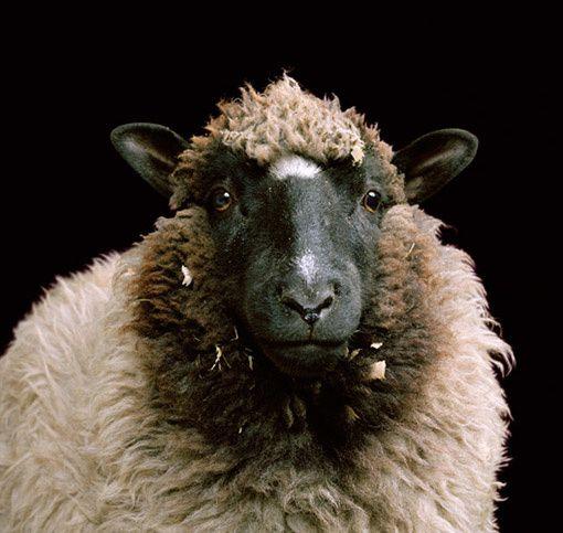 Mouton portrait