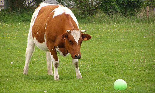 Une vache qui joue au football ? Transférée au mercato ?