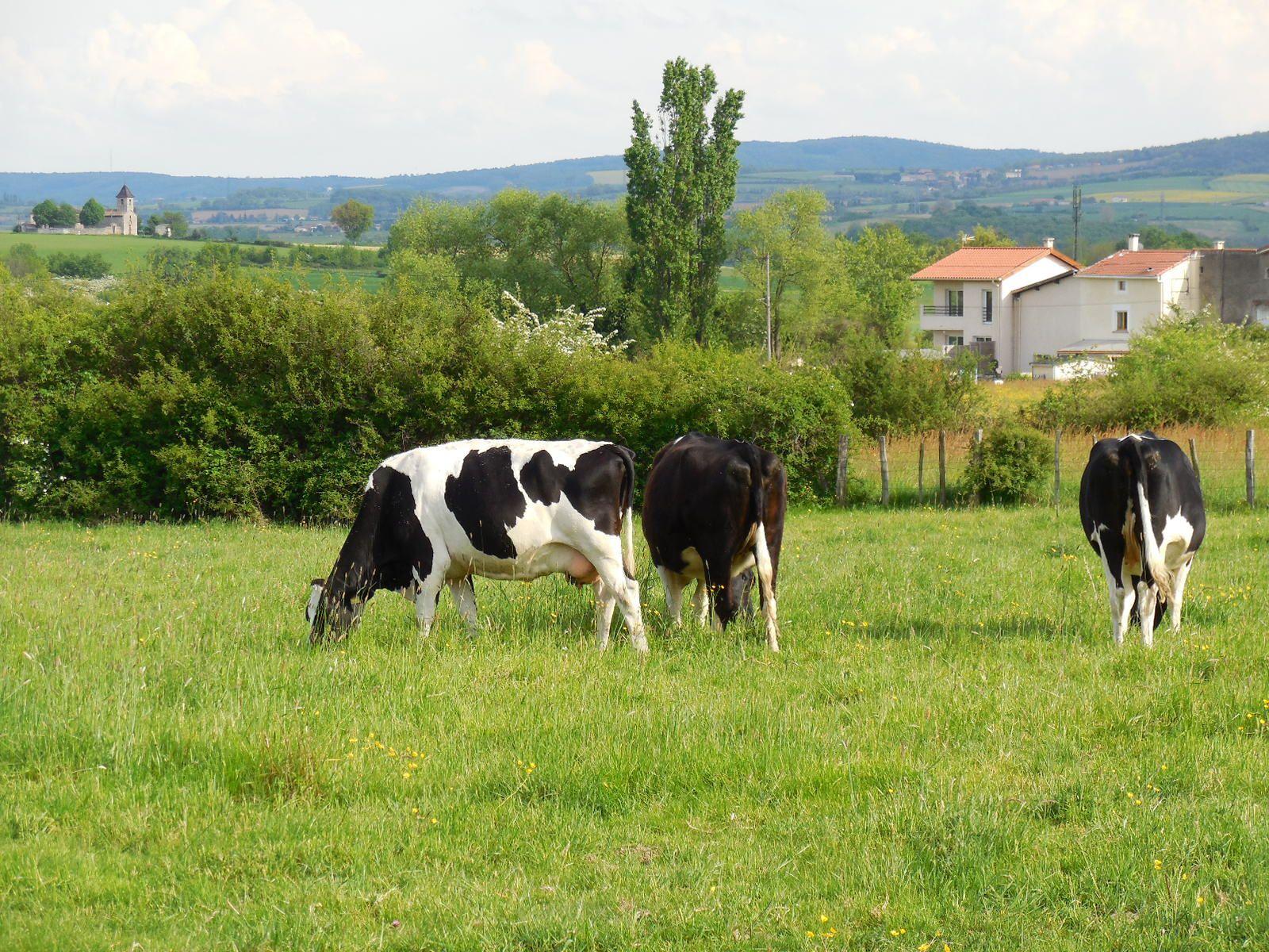 Quelques vaches dans un champ avec au fond a gauche la superbe Chapelle de St Martin de Cornas dont les parties les plus anciennes datent du 10ème siècle