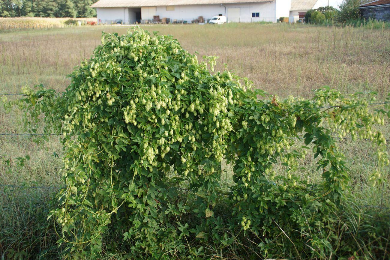 Et magnifique plant de houblon sur une clôture route du stade.