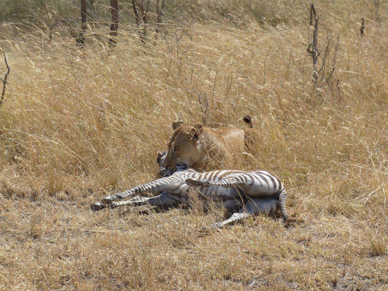 Serengeti et Ngorongoro : Le Roi Lion ou l'Histoire de la vie