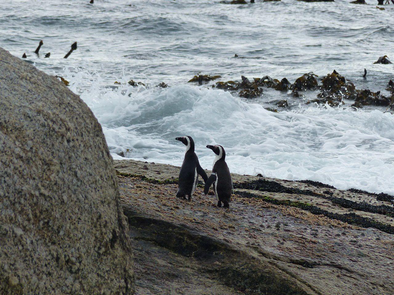 Des pingouins amoureux