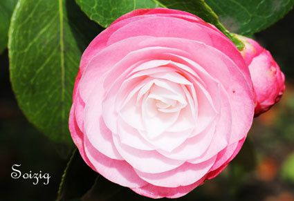 Camelia de Loann : 18 ans Il fleurit fin janvier, début février
